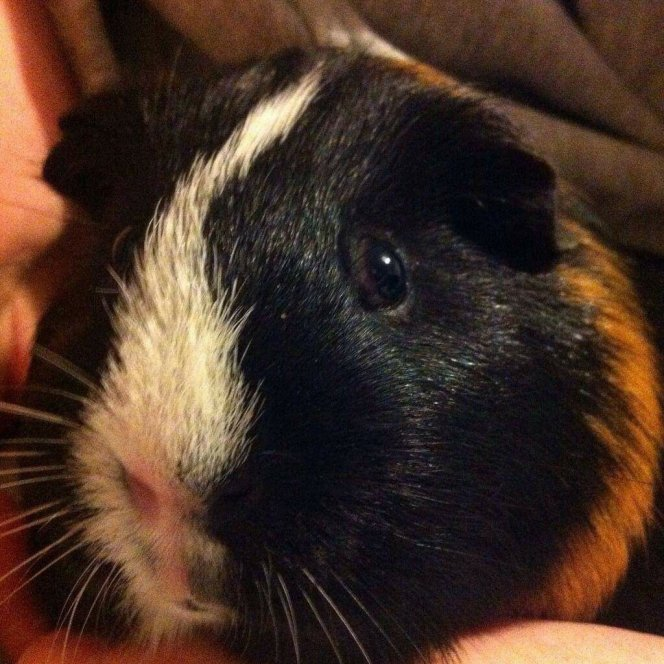 A close-up of Loki. Loki has silky black and ginger fur, with a white strip running down from his head to his nose